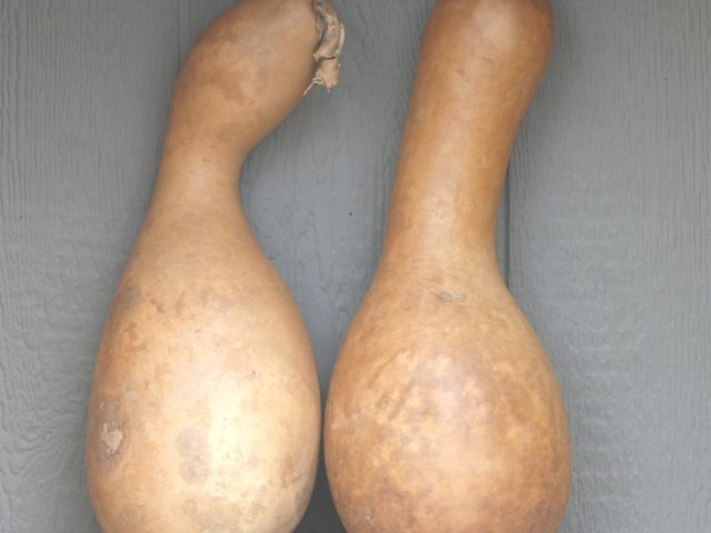 Weirdo Gourds